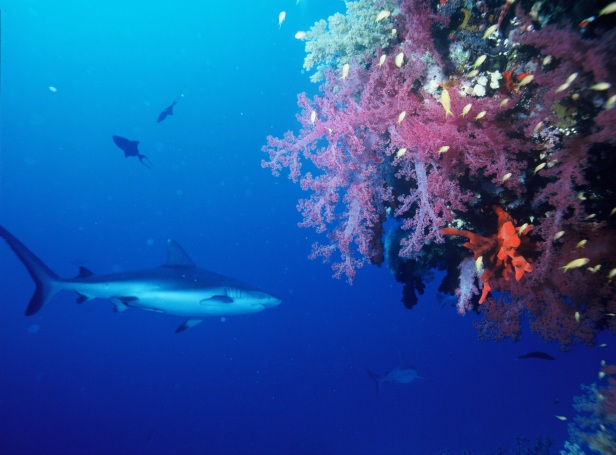 gray_reef_shark_fish